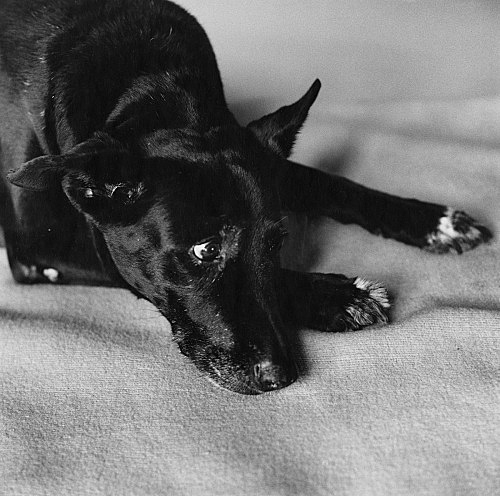 "Peter Hujar – ""Clarissa Darlymple's Dog, Kirsten"", 1984 gelatin-silver print 50.8 x 40.6 cm"