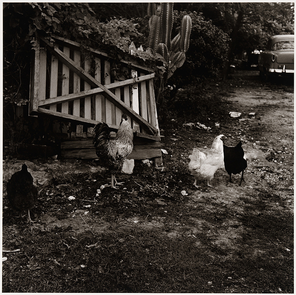 "Peter Hujar – ""Chickens in a Barnyard, Key West"", ca. 1957 gelatin silver print image 36.8 x 37.2 cm"