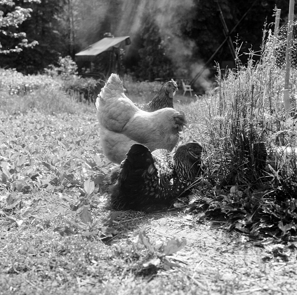 "Moyra Davey – ""3 Chickens (Smoke)"", 2019 silver gelatin print 50.5 x 40.5 cm"
