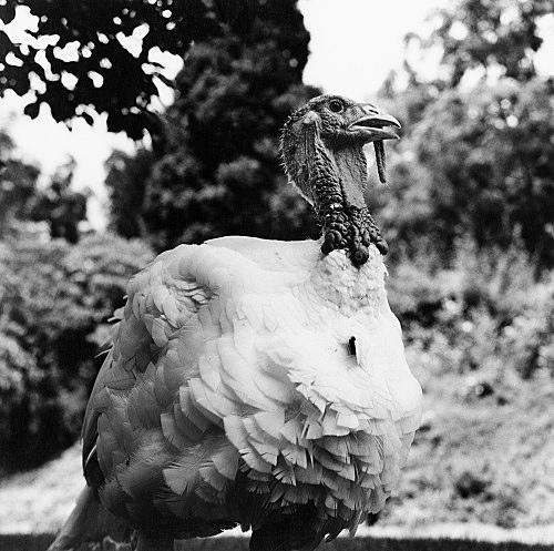 "Peter Hujar – ""White Turkey, Pennsylvania"", 1985 gelatin silver print image 37.2 x 37.5 cm"