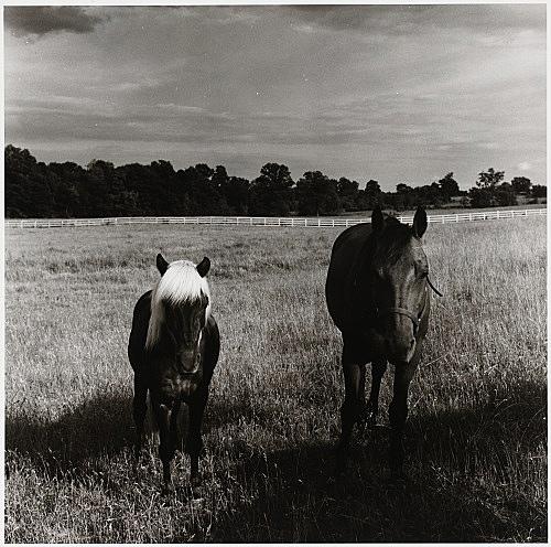 "Peter Hujar – ""Two Horses in Field"", 1977 gelatin silver print image 37.3 x 37.5 cm"