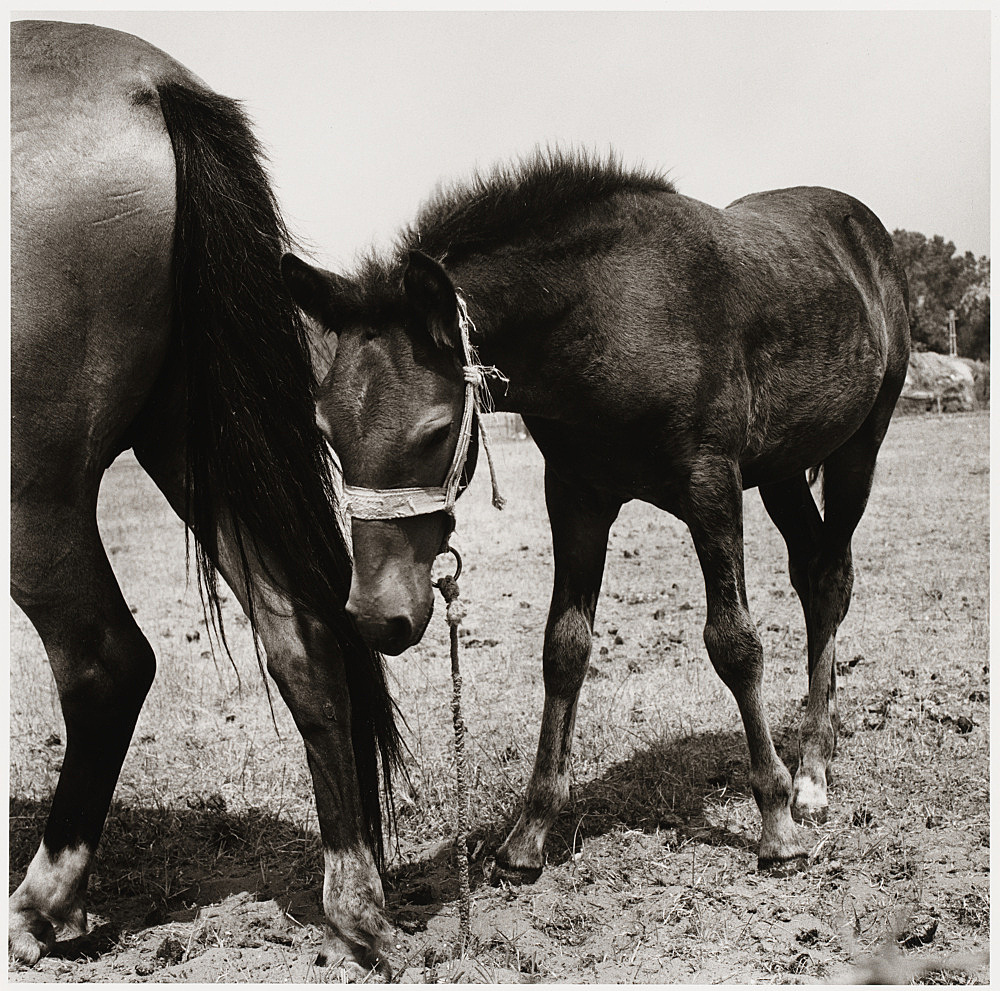 "Peter Hujar – ""Colt with Mother, Italy"", 1978 gelatin silver print image 36.8 x 37.2 cm"