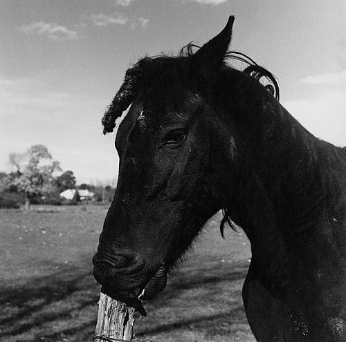 "Peter Hujar – ""Horse, Warwick, R.I."", 1979 gelatin silver print image 37.5 x 37.5 cm"